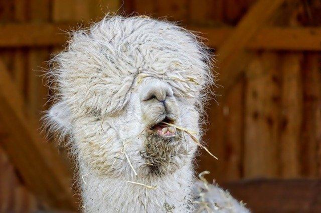 Lama djur